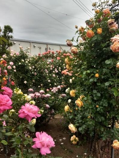 薔薇満開です_e0356469_22264928.jpg