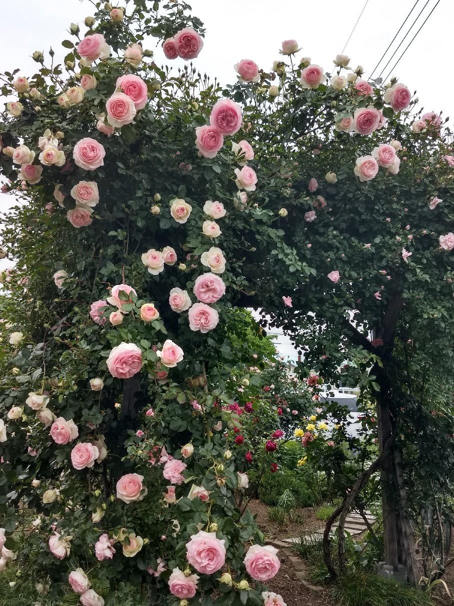 薔薇満開です_e0356469_22323553.jpg