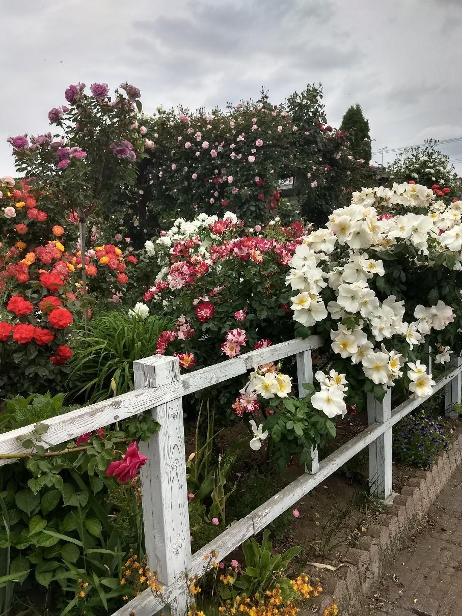 薔薇満開です_e0356469_22323562.jpg