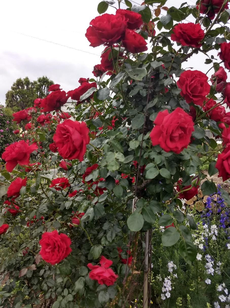 薔薇満開です_e0356469_22323689.jpg