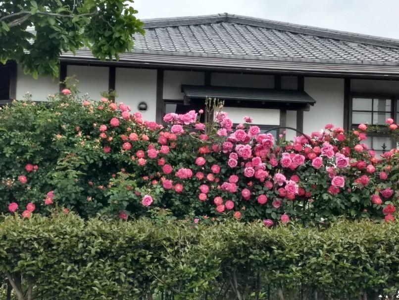 薔薇満開です_e0356469_22342219.jpg