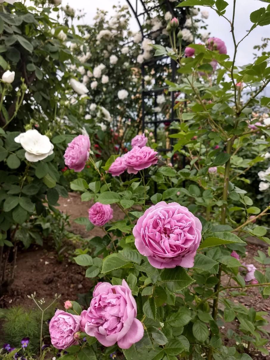 薔薇満開です_e0356469_22342277.jpg
