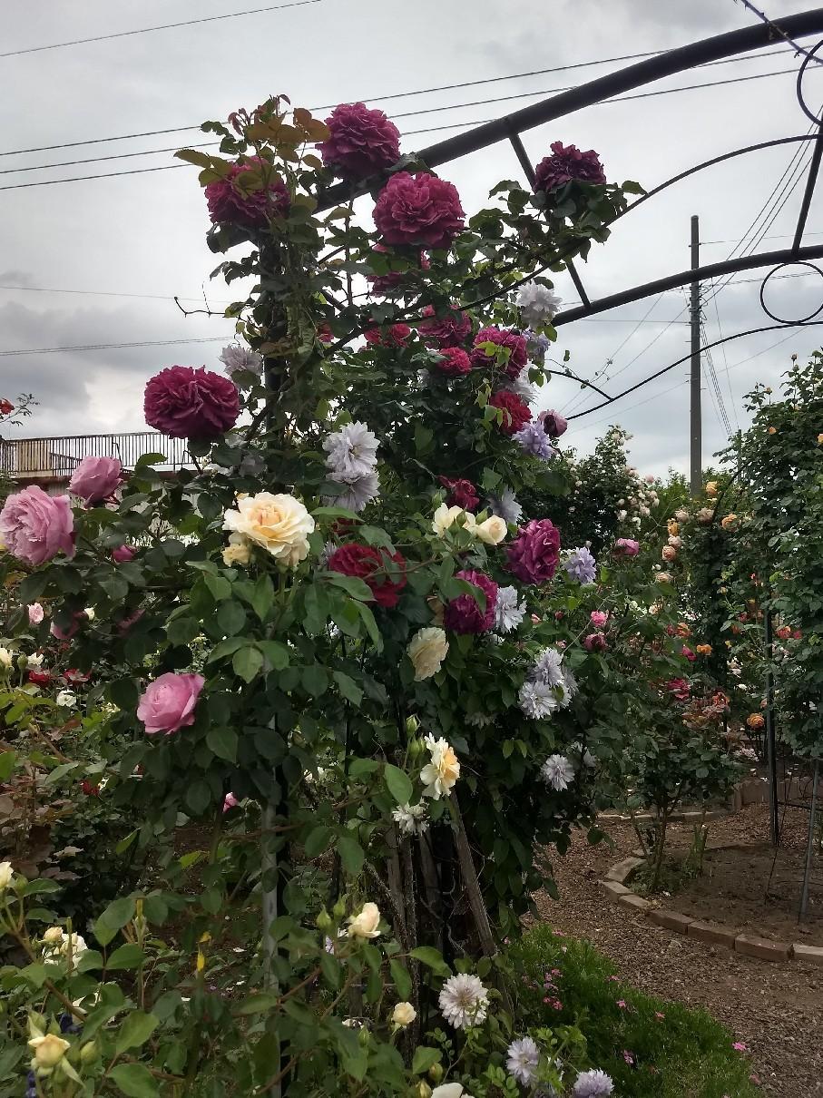 薔薇満開です_e0356469_22342311.jpg