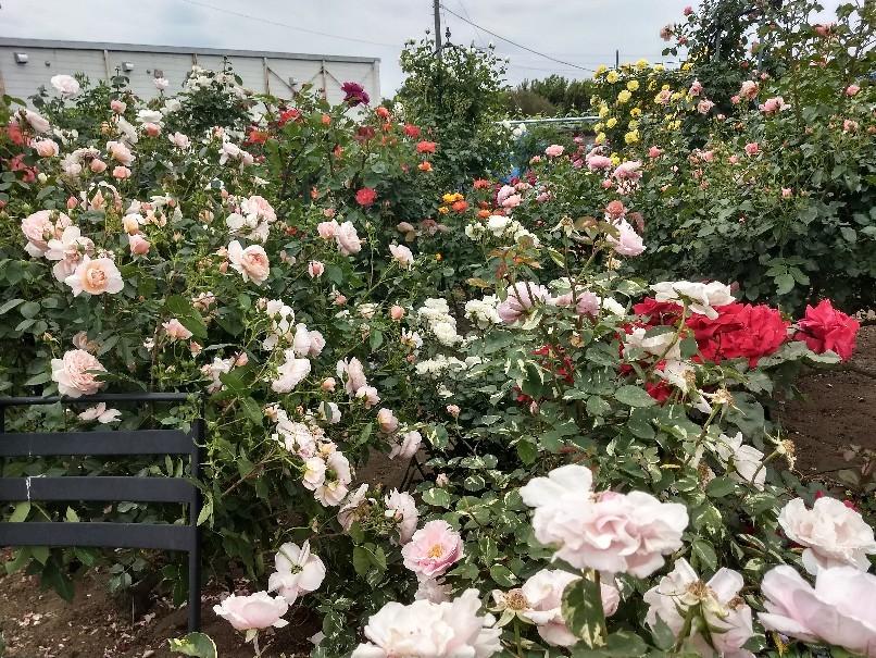 薔薇満開です_e0356469_22342333.jpg