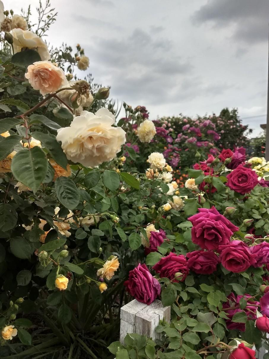 薔薇満開です_e0356469_22342391.jpg