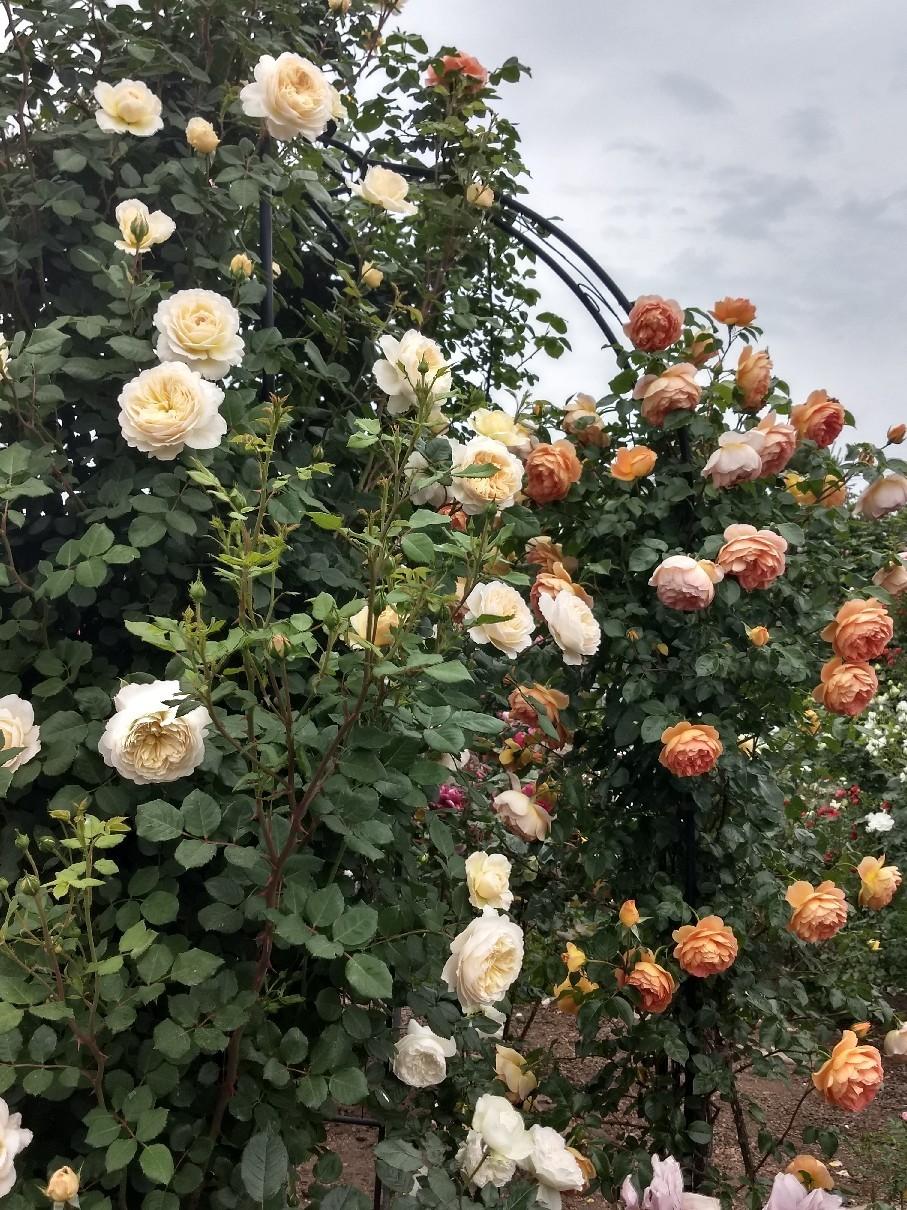 薔薇満開です_e0356469_22371028.jpg