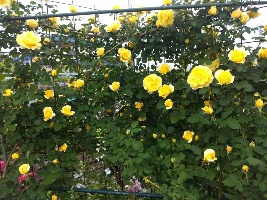 薔薇満開です_e0356469_23222696.jpg