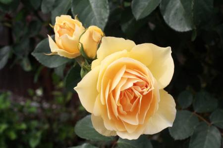 5月の薔薇_a0107574_12293409.jpg