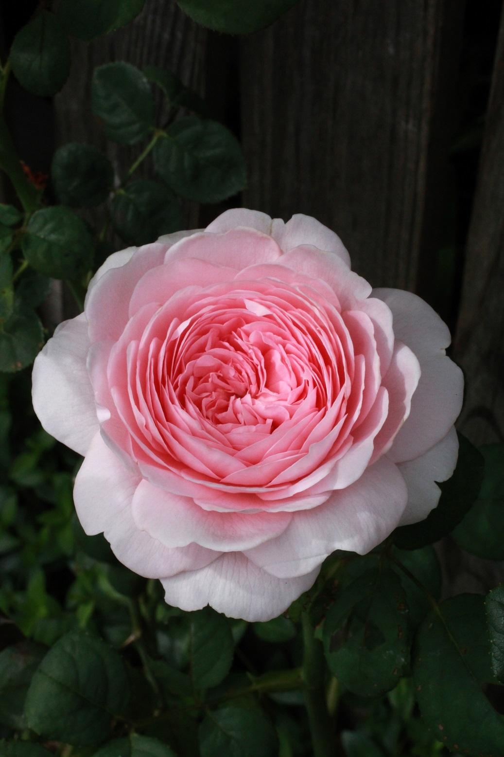 5月の薔薇_a0107574_12294826.jpg
