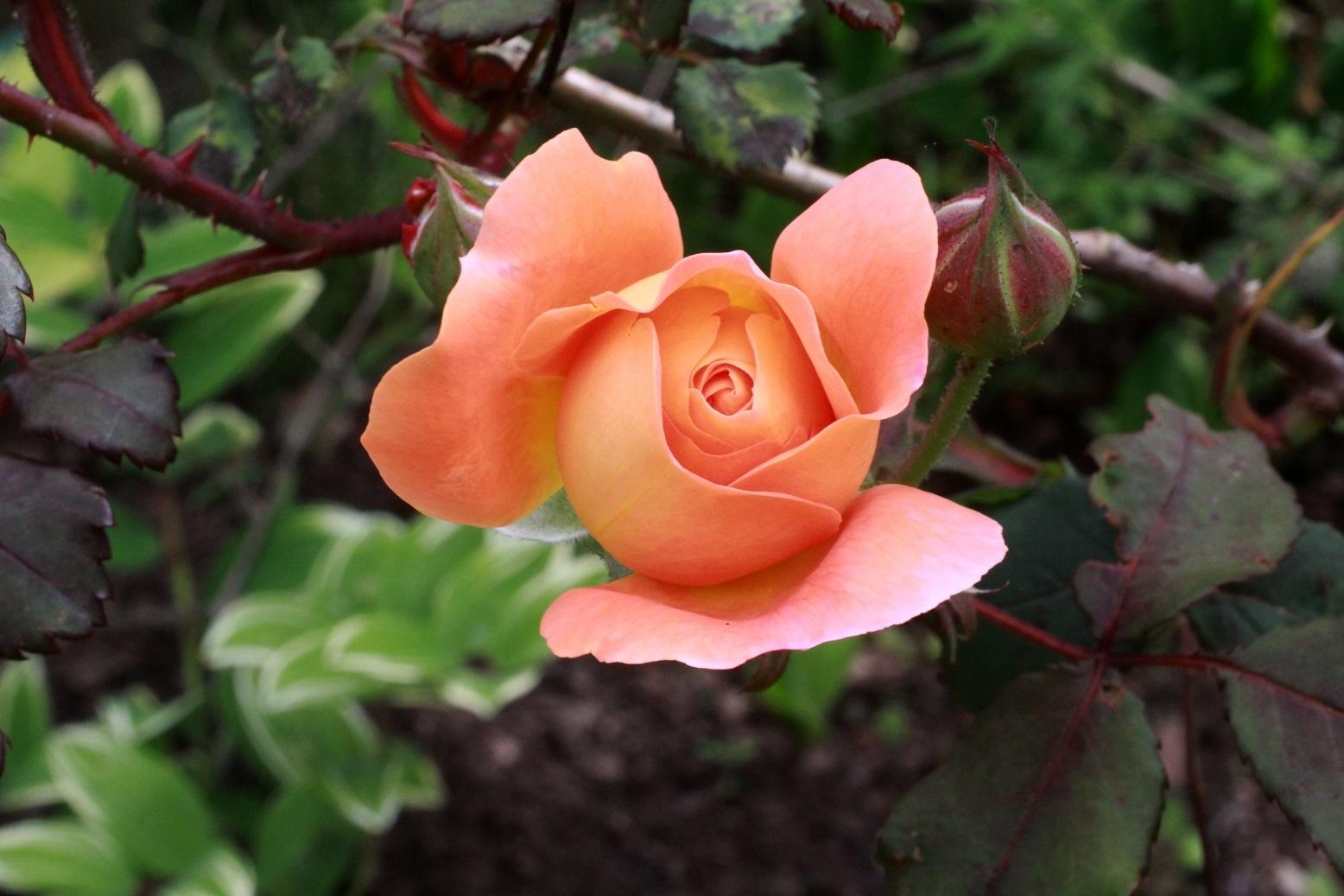 5月の薔薇_a0107574_12295901.jpg