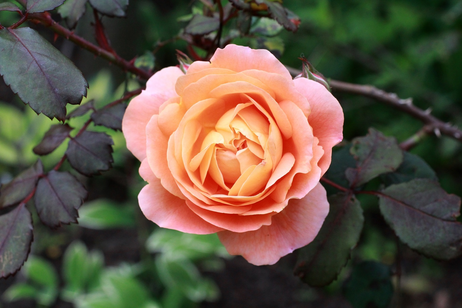 5月の薔薇_a0107574_12301368.jpg