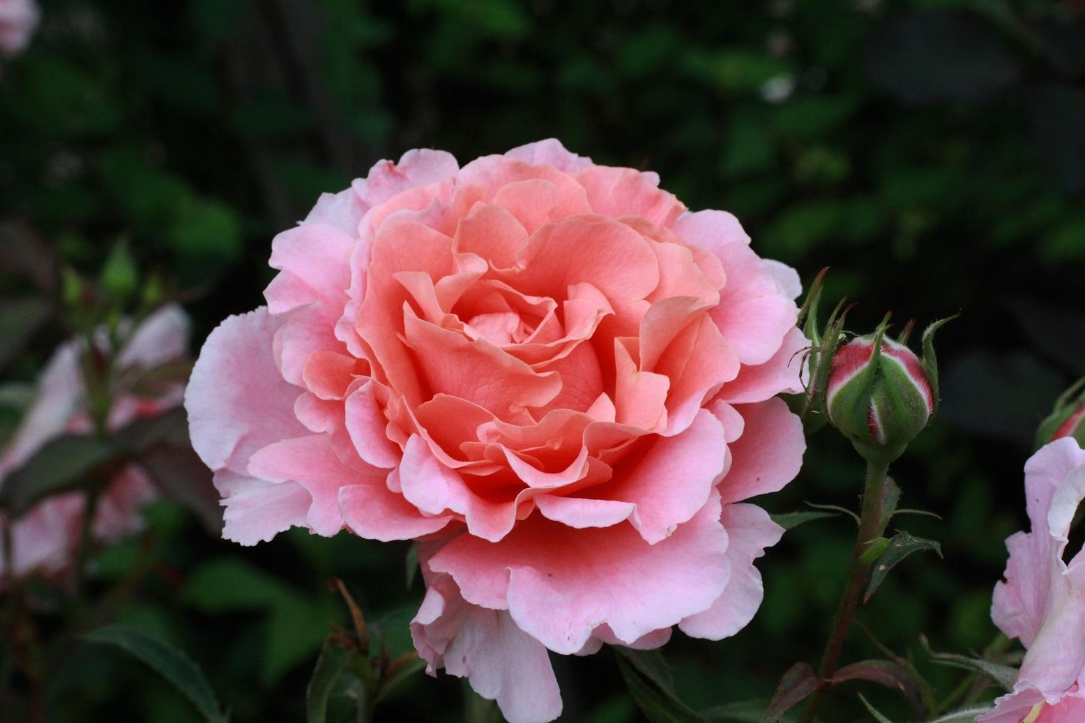 5月の薔薇_a0107574_12303355.jpg