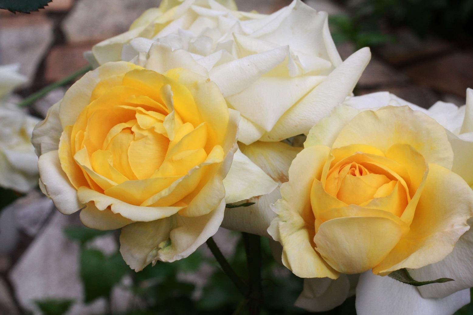 5月の薔薇_a0107574_12311922.jpg