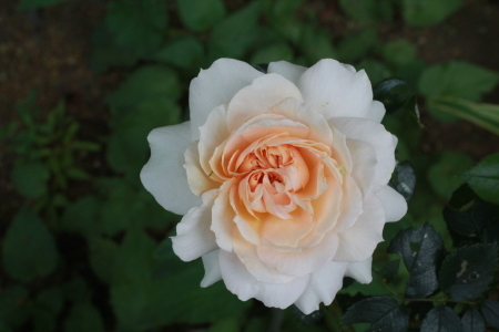 5月の薔薇_a0107574_12313507.jpg