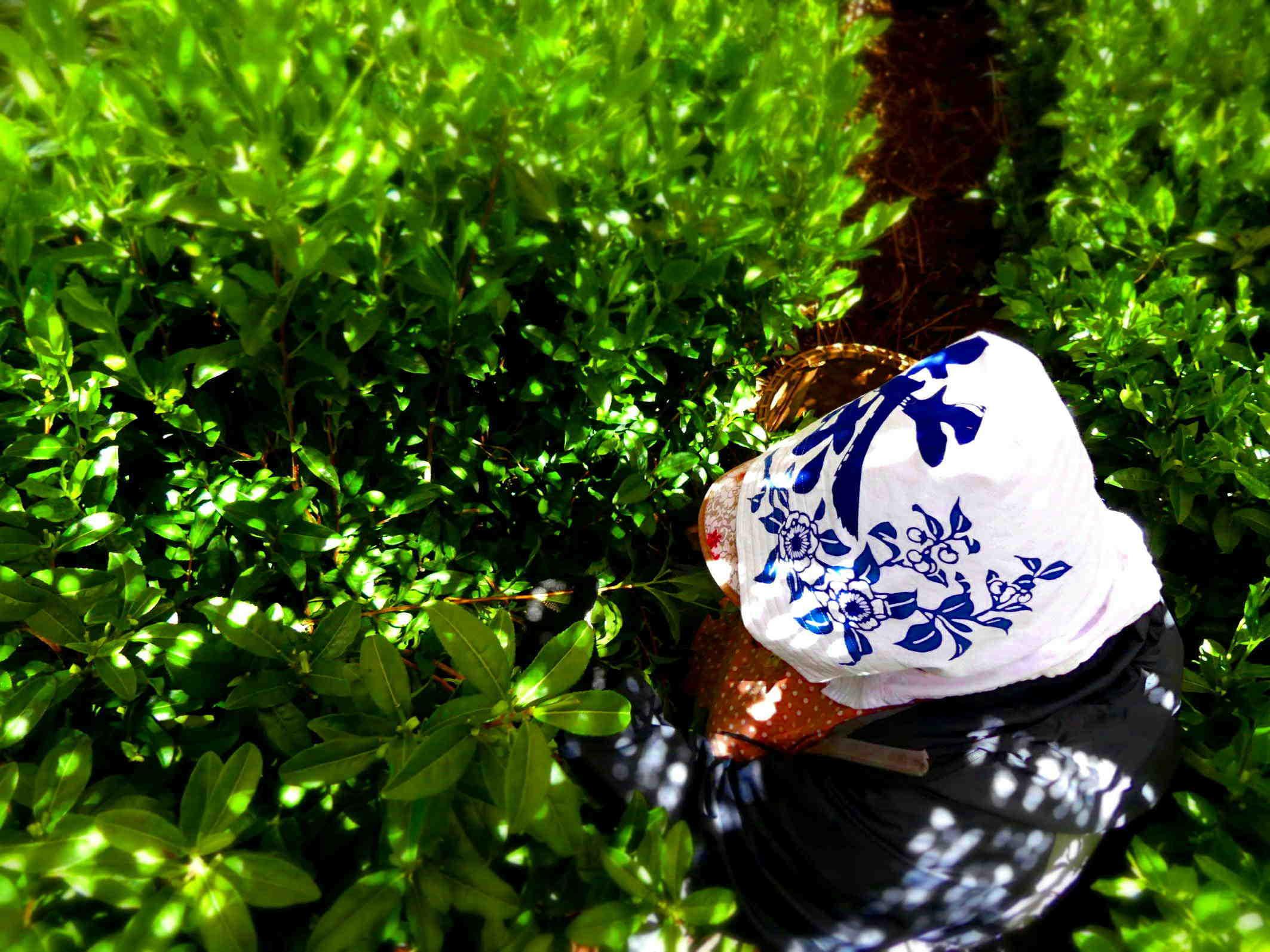 暖かい光と柔らかい影が交叉して輝く茶園   Chaen shining with warm light and soft shadows intersecting_a0391480_19292548.jpg