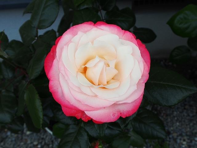 開花がピークを迎えたバラ_e0289203_21305895.jpg