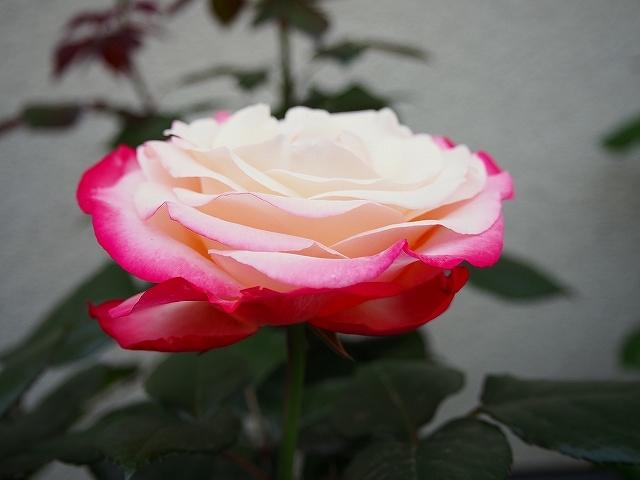 開花がピークを迎えたバラ_e0289203_21310163.jpg