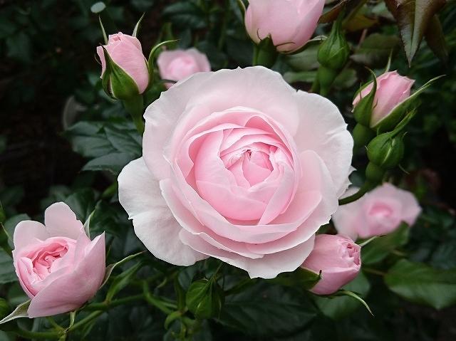 開花がピークを迎えたバラ_e0289203_21311817.jpg