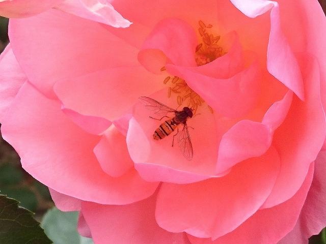 開花がピークを迎えたバラ_e0289203_21312189.jpg