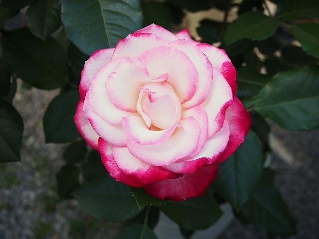 開花がピークを迎えたバラ_e0289203_21422851.jpg