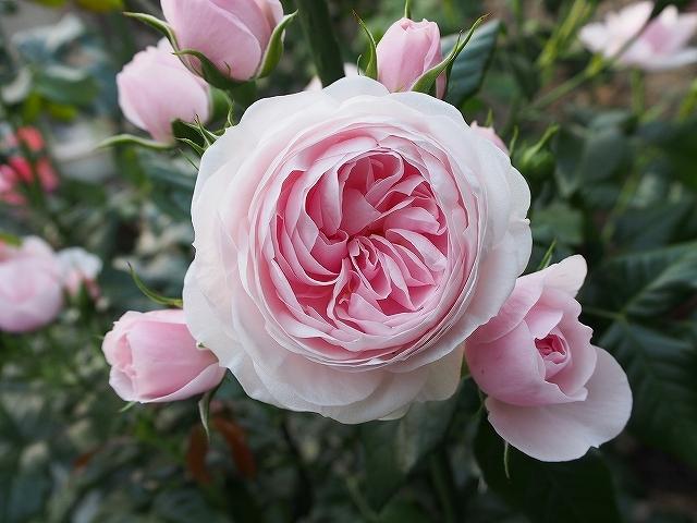 開花がピークを迎えたバラ_e0289203_21453370.jpg
