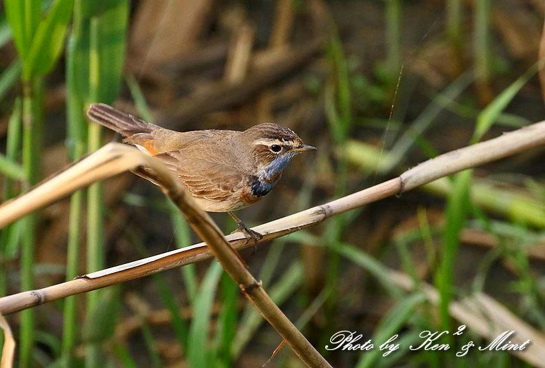 大好きな鳥さん「オガワコマドリ」さん♪  ー思い出の在庫からー_e0218518_21095828.jpg