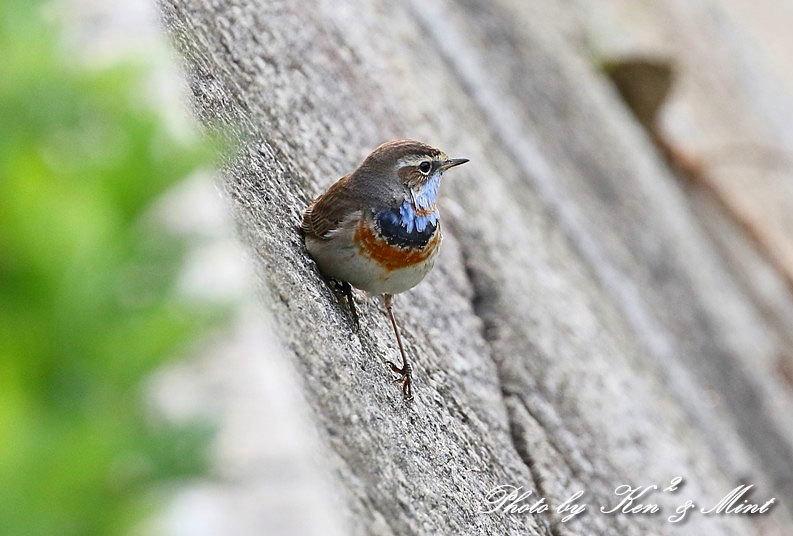 大好きな鳥さん「オガワコマドリ」さん♪  ー思い出の在庫からー_e0218518_21125905.jpg
