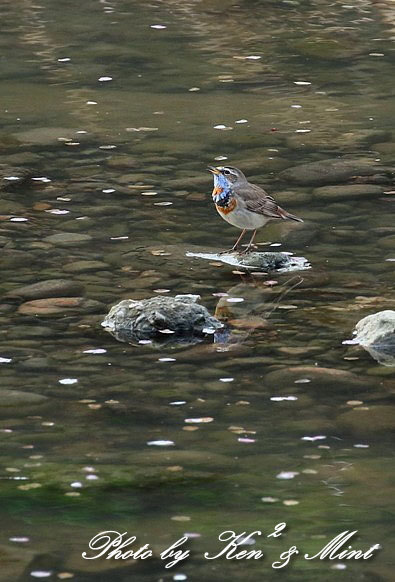 大好きな鳥さん「オガワコマドリ」さん♪  ー思い出の在庫からー_e0218518_21131246.jpg