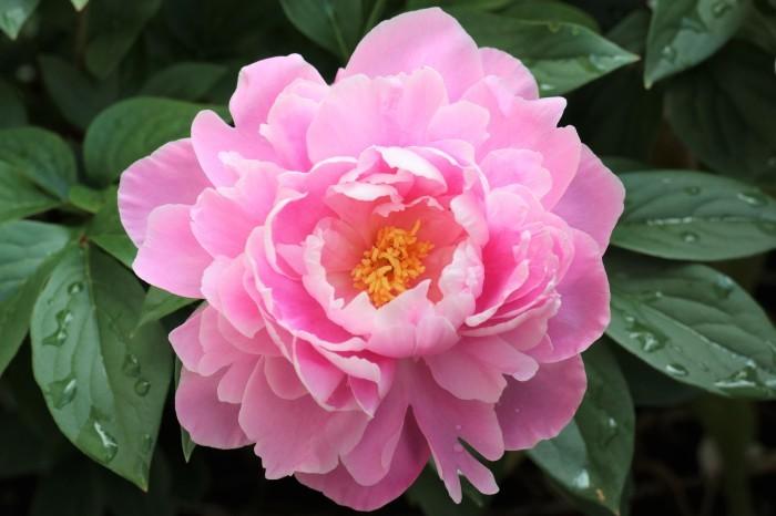 5月 我が家の庭で咲く花々_d0150720_11072822.jpg