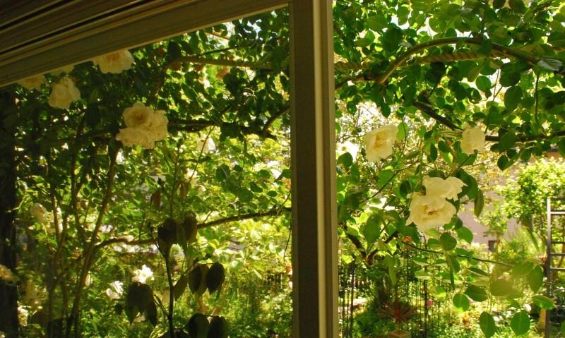 ガーランドとフェンスを彩ってくれるオススメのバラたち ♪_b0280025_17345602.jpg