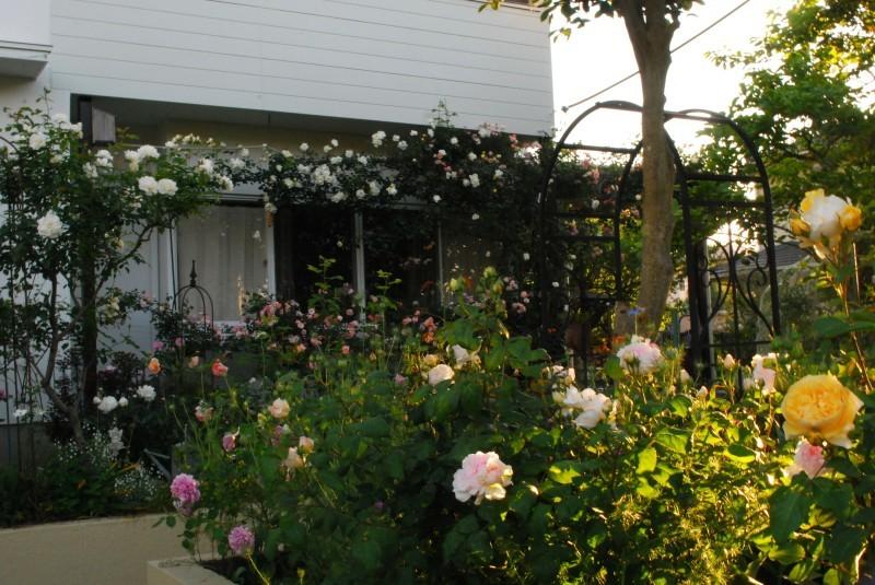 ガーランドとフェンスを彩ってくれるオススメのバラたち ♪_b0280025_17473907.jpg