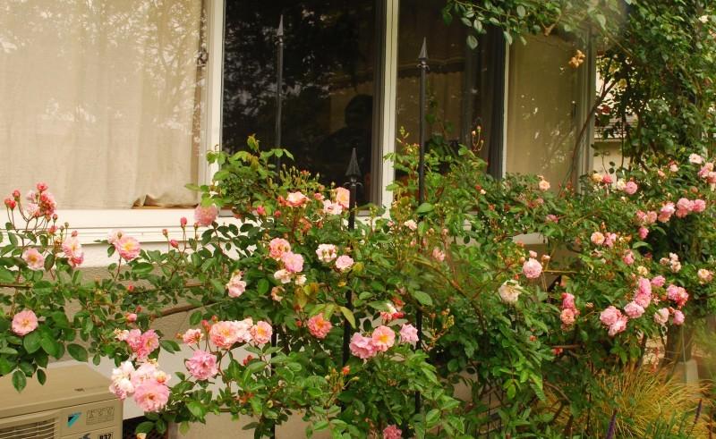 ガーランドとフェンスを彩ってくれるオススメのバラたち ♪_b0280025_18150336.jpg
