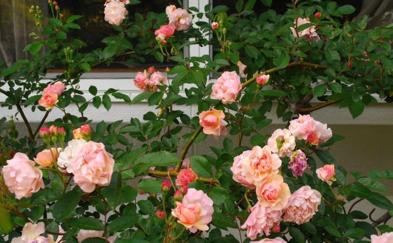 ガーランドとフェンスを彩ってくれるオススメのバラたち ♪_b0280025_18164699.jpg