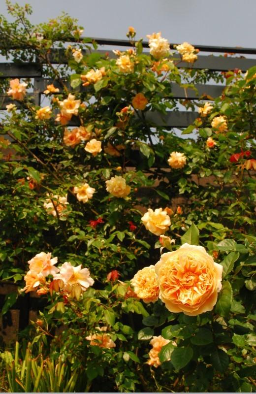 ガーランドとフェンスを彩ってくれるオススメのバラたち ♪_b0280025_18255138.jpg