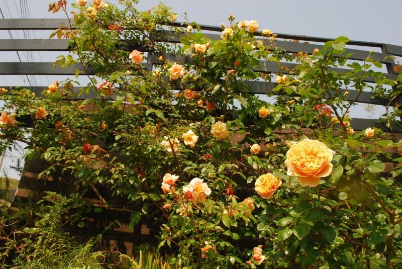 ガーランドとフェンスを彩ってくれるオススメのバラたち ♪_b0280025_18263977.jpg