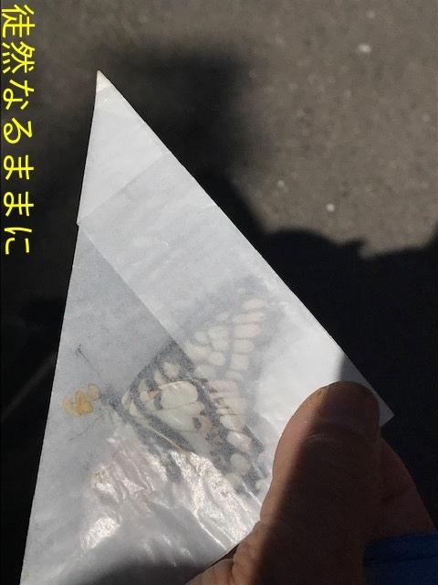 ゴマダラチョウ 春型_d0285540_19473976.jpg