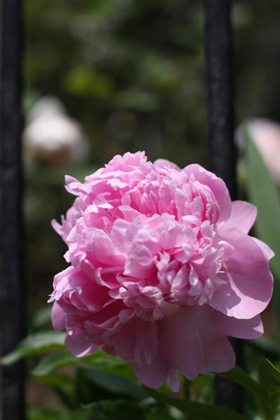 庭の芍薬の花が咲きました_e0333647_15353247.jpg