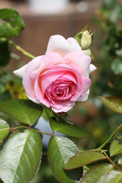 庭の芍薬の花が咲きました_e0333647_15354158.jpg