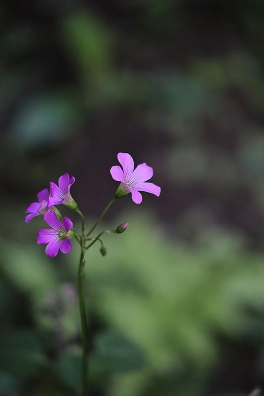 【週末企画5/17  近所に咲いてる花】_a0003650_20225850.jpg