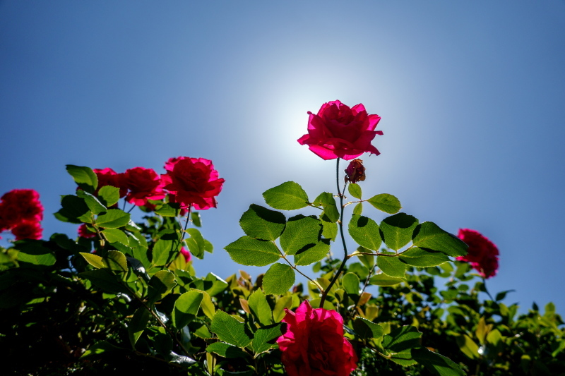 【週末企画5/17  近所に咲いてる花】_a0003650_20243386.jpg