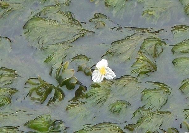 たくましい水草に可憐な花_e0175370_21264989.jpg