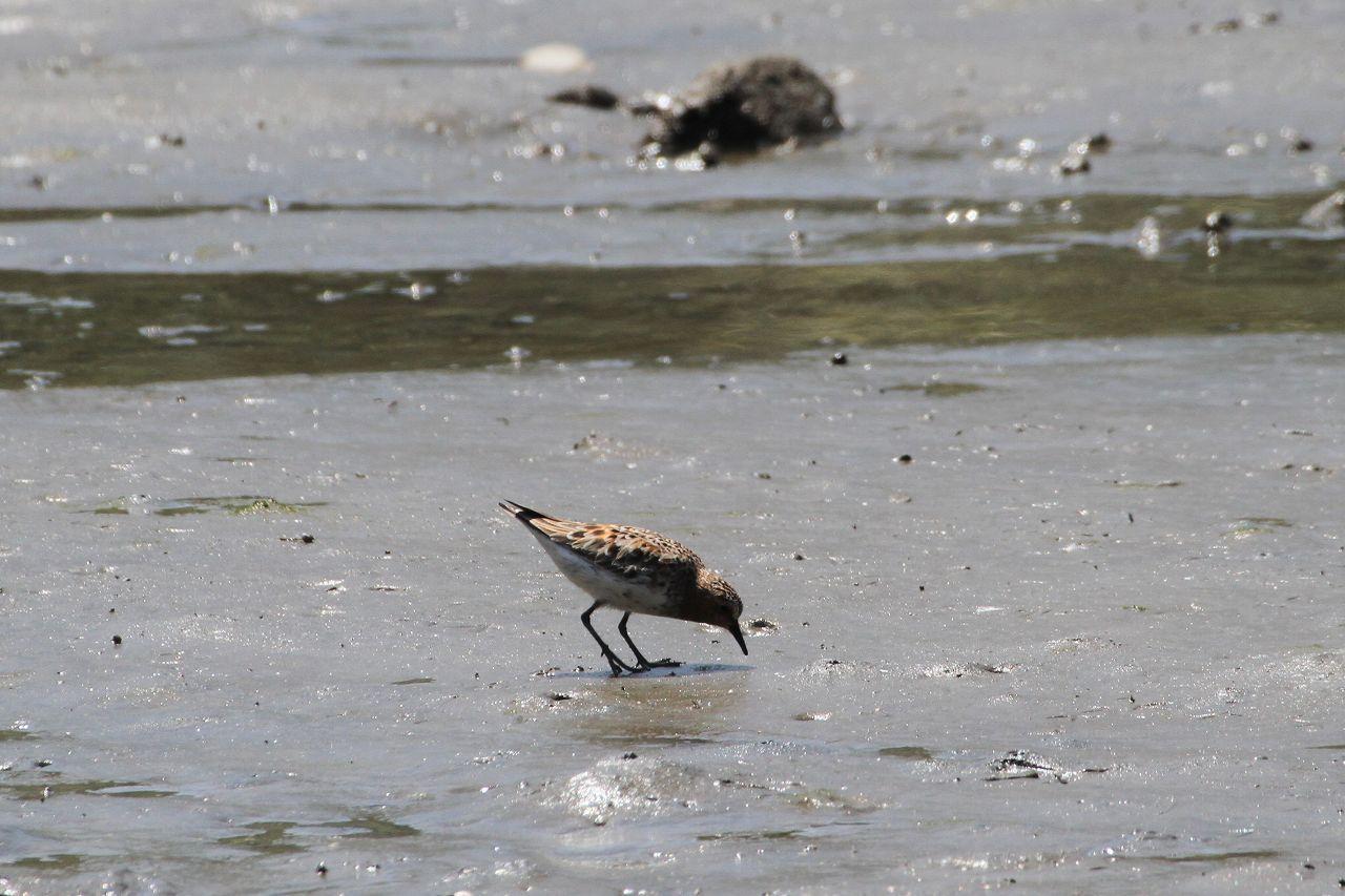小鳥は少ないですがシギ・チドリ類が見られました★先週末の鳥類園(2020.5.16~17)_e0046474_18442611.jpg