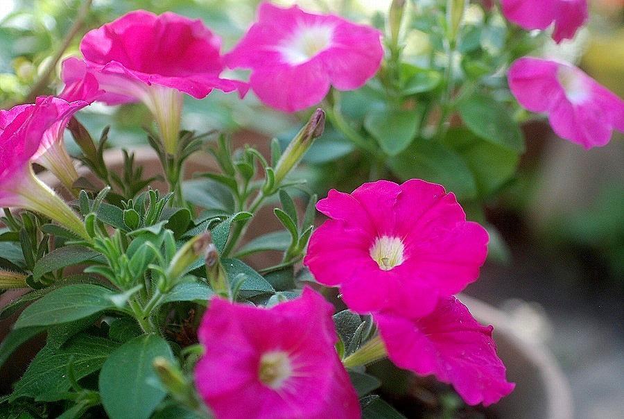 五月の庭の花々_c0187781_15230828.jpg