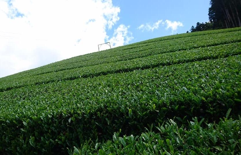 一番茶の収穫が終わりました_b0028299_21492890.jpg