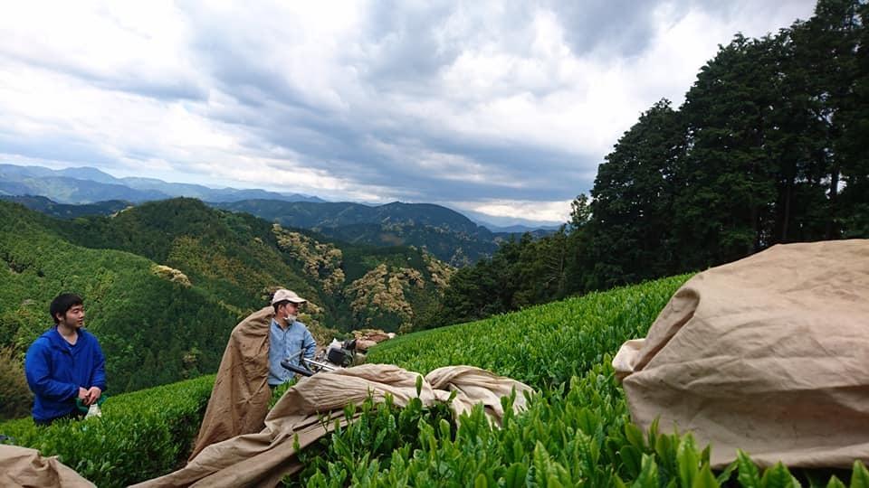 一番茶の収穫が終わりました_b0028299_21495153.jpg