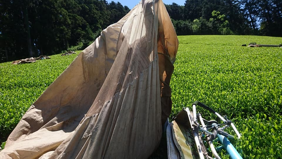 一番茶の収穫が終わりました_b0028299_21503275.jpg