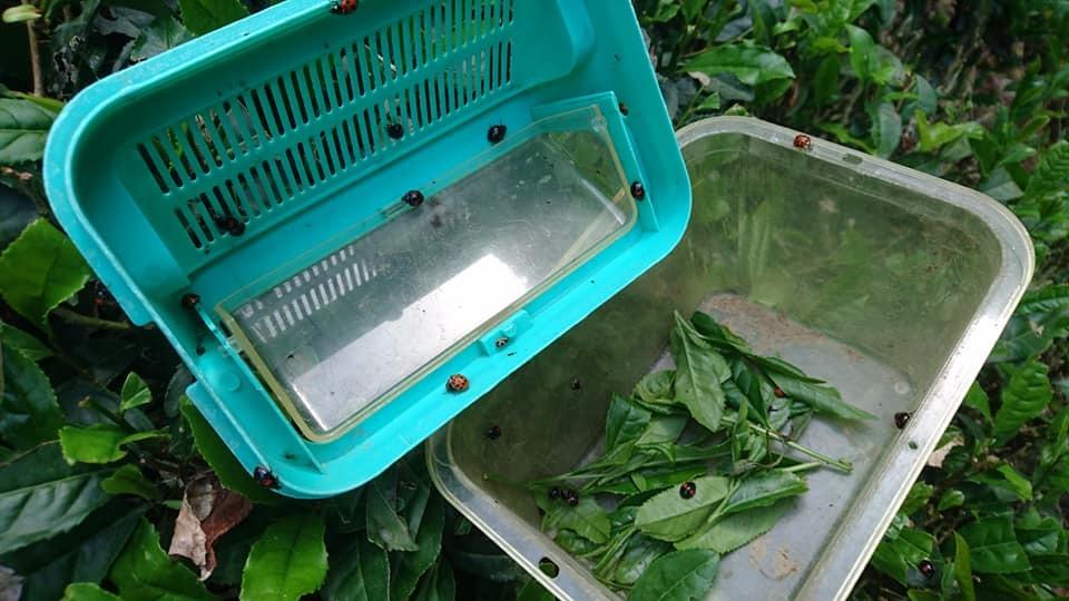 一番茶の収穫が終わりました_b0028299_21514486.jpg