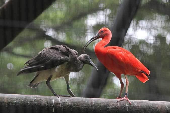 トキ舎の幼鳥たち~インカアジサシは雨に鳴く(多摩動物公園 July 2019)_b0355317_21235496.jpg