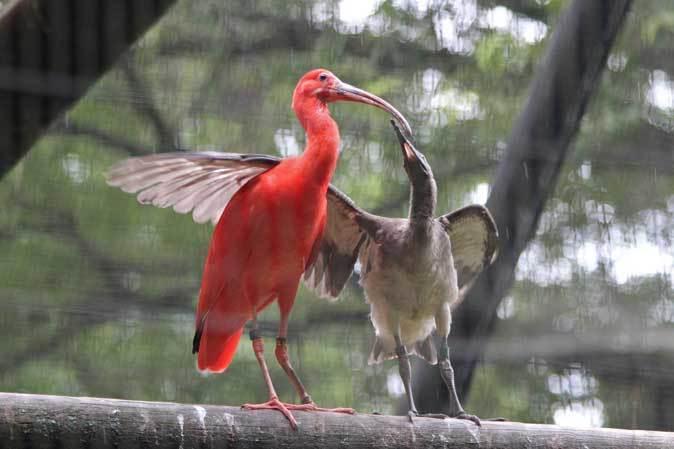 トキ舎の幼鳥たち~インカアジサシは雨に鳴く(多摩動物公園 July 2019)_b0355317_21245371.jpg