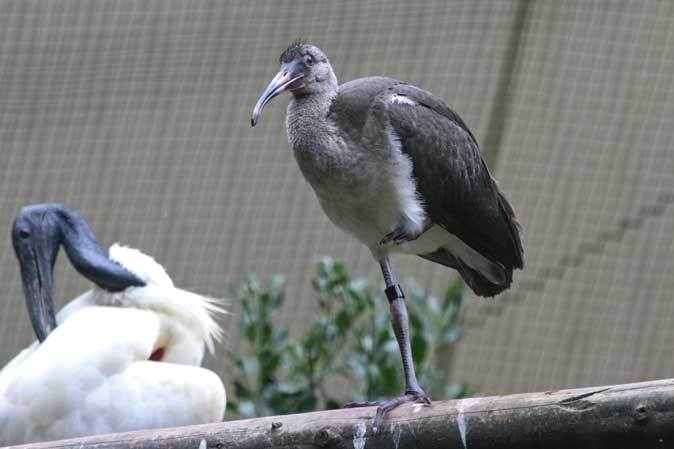 トキ舎の幼鳥たち~インカアジサシは雨に鳴く(多摩動物公園 July 2019)_b0355317_21452875.jpg